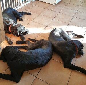 Home dog boarding - cooling down on the tiled floor